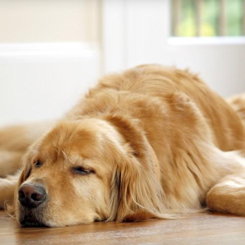 Dog Neutering Has Health Risks for Certain Breeds - The Atlantic