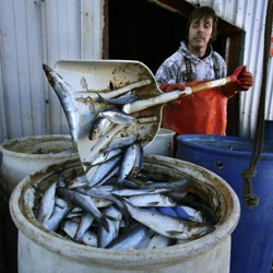 A man shovels fish into a barrel.
