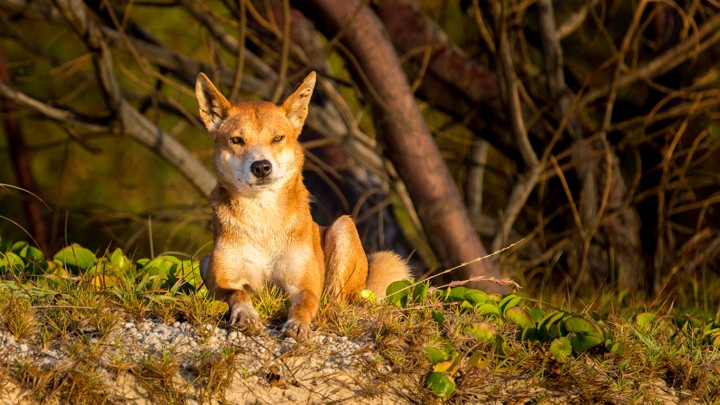 A dingo stares forlornly at the setting sun.