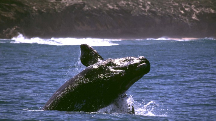 A southern right whale breaches the surface.