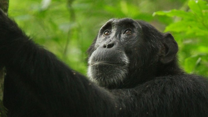 Kidman, a chimpanzee, now dead