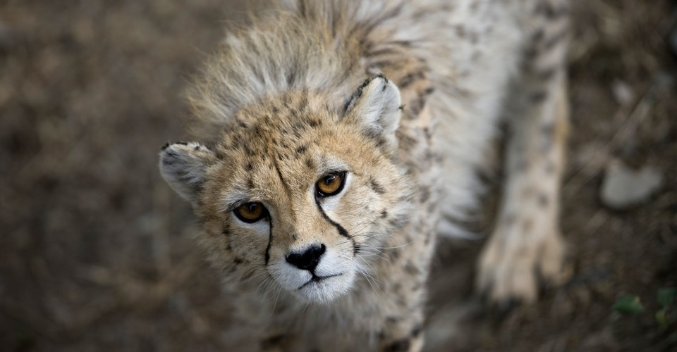 India's Controversial Plan to Bring Back the Cheetah