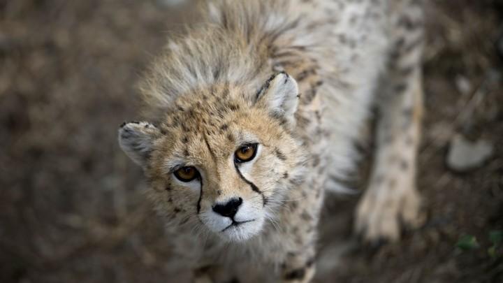 An Asiatic cheetah in Tehran