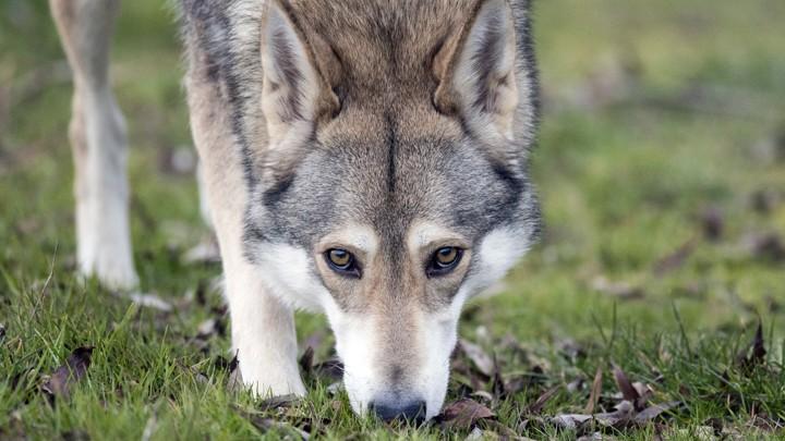 A wolfdog