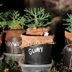 Giant Sequoia seedlings, planted at Otis College of Art and Design, in Los Angeles