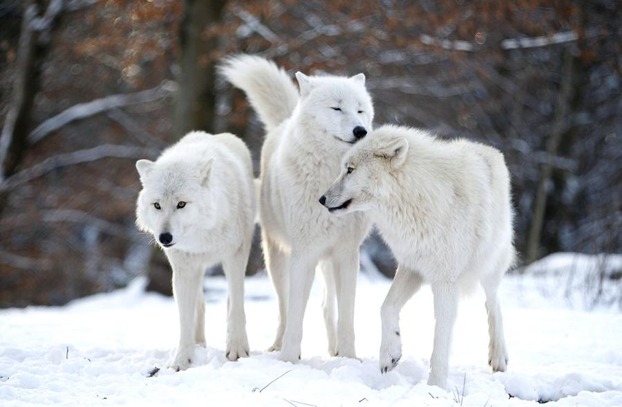 Wolf Germany the wolf the atlantic