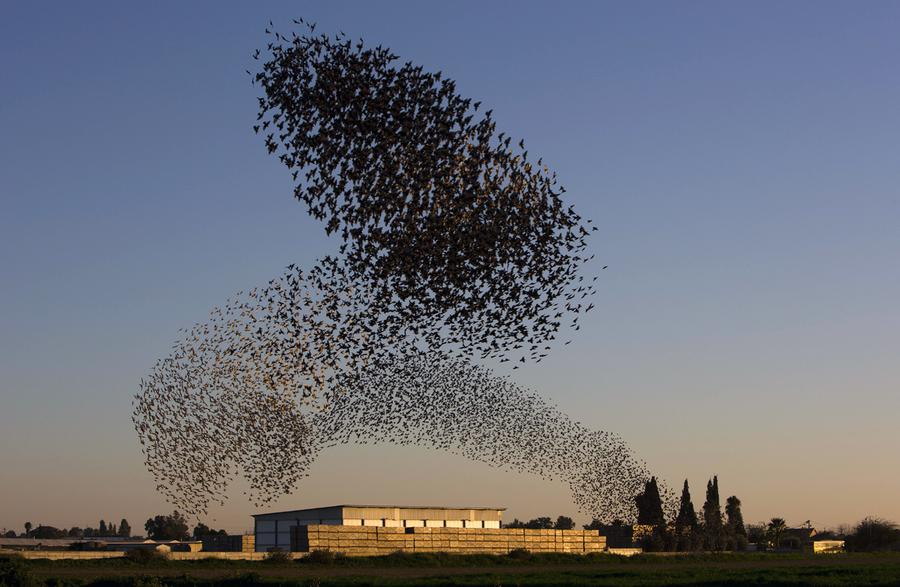 Image result for starlings