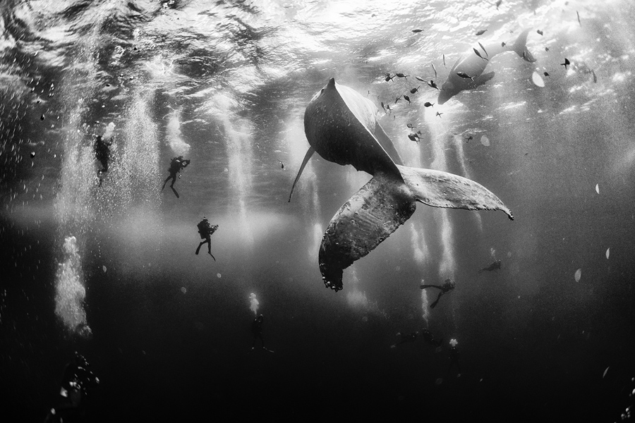 Diving with a humpback whale and her new born calf while they cruise around roca partida island in revillagigedo mexico