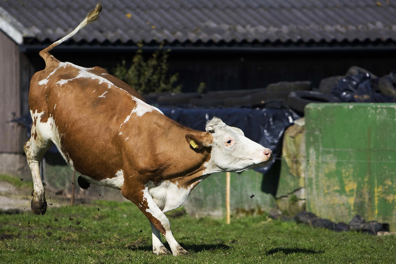 cows the atlantic