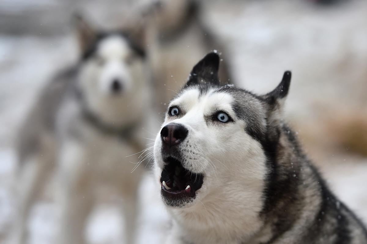 Violent Dog Barking