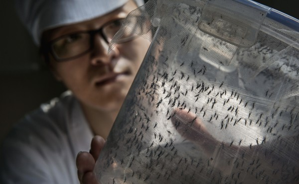 The World's Largest Mosquito Factory