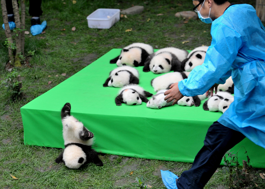A Giant Panda Cub Falls From A Stage While 23 Giant Pandas Born In 2016 Are  Displayed At The Chengdu Research Base Of Giant Panda Breeding In Chengdu,  ...