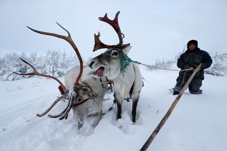 a herder stops for his reindeer to have a rest on november 27 2016 - Pictures Of Reindeer