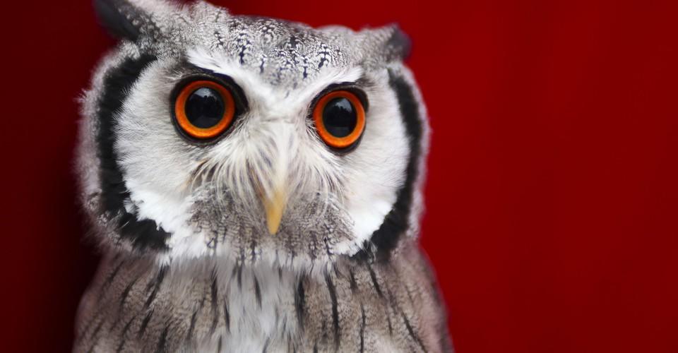 superb owl sunday