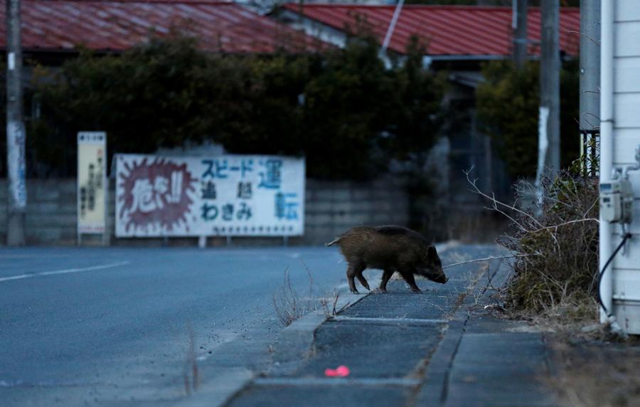 福岛成了野猪的天堂 - wuwei1101 - 西花社