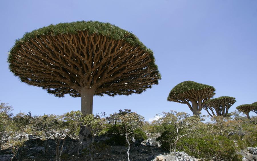 Dragon's Blood trees Dam al-Akhawain blood two brothers Socotra island
