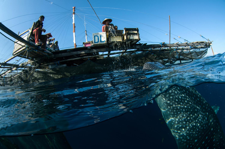 Cenderawasih湾的鲸鲨 - wuwei1101 - 西花社