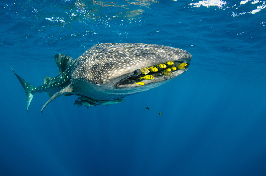 A Whale of a Shark Week - Whale Sharks as Good Luck Charms