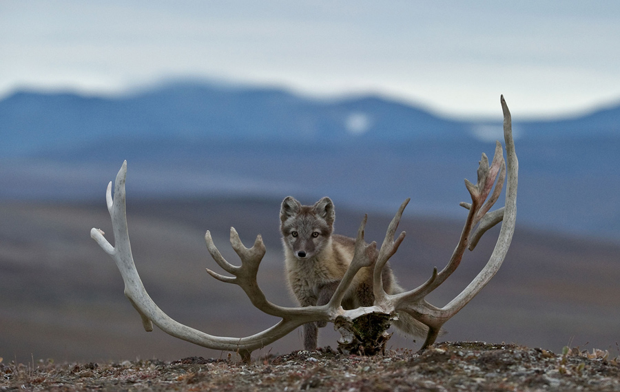 studying the arctic wildlife of russia s wrangel island the atlantic