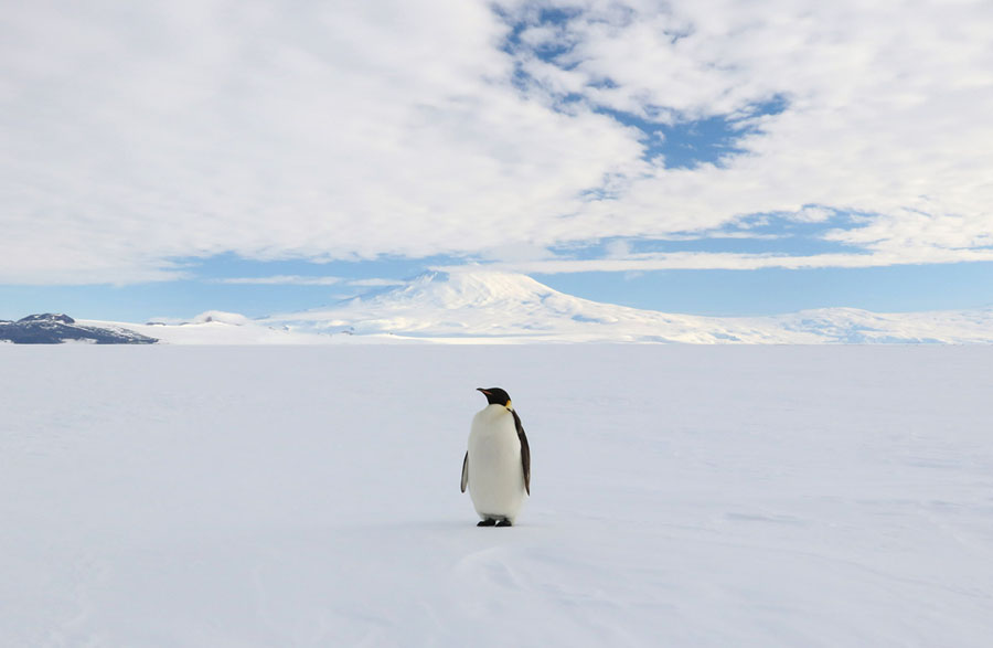 A photo trip to antarctica the atlantic an emperor penguin the largest of all penguins stands proudly on the mcmurdo ice shelf with mount erebus in the distance on january 23 2017 publicscrutiny Images