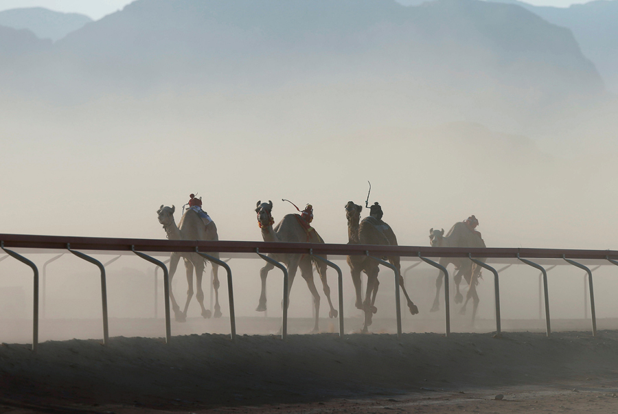 1ed400553042 Camels driven by robot jockeys run on a five-kilometer racetrack during a  camel race in Wadi Rum