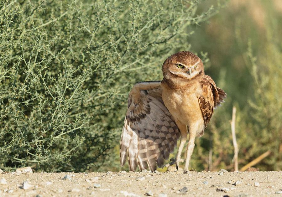superb owl sunday ii the atlantic - Owl Picture