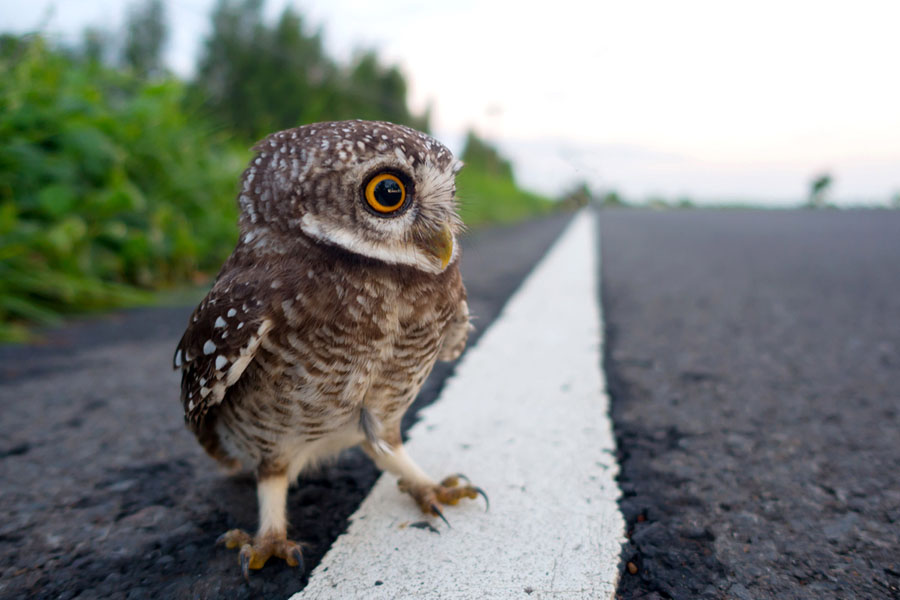 a small owl stands on a stripe on blacktop - Owl Picture