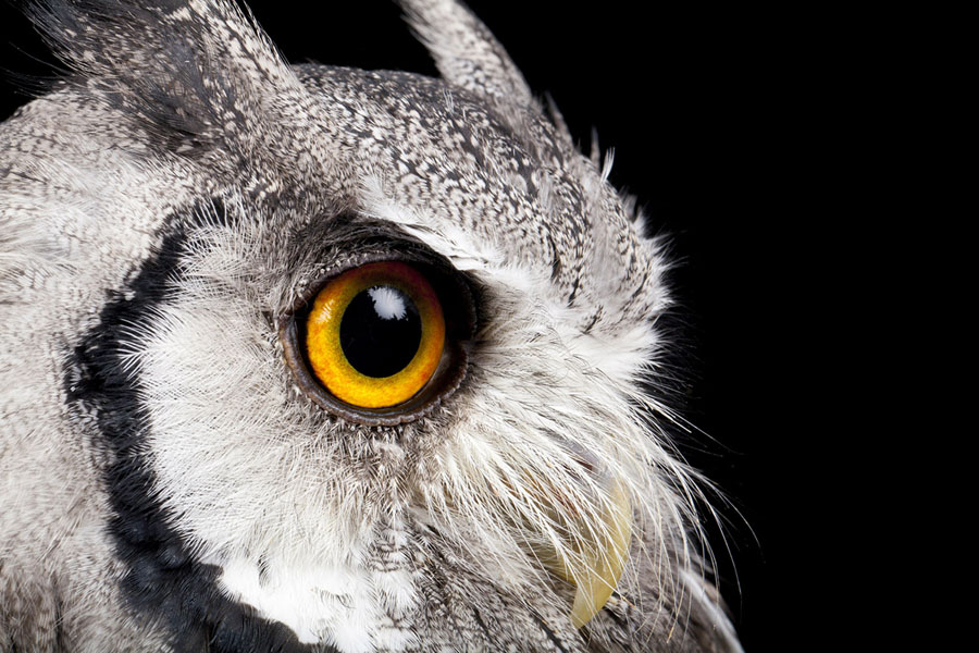 portrait of a white faced owl - Owl Picture