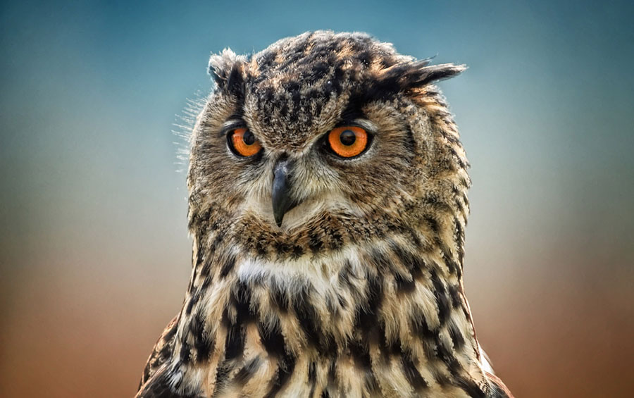 an eagle owl photographed at leeds castle in kent uk - Owl Picture