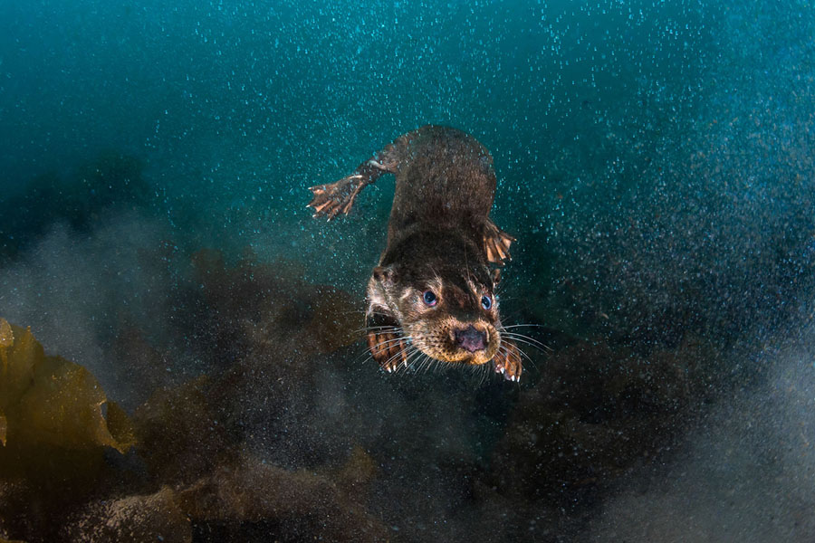 Winners of the 2018 underwater photographer of the year contest fresh otter at sea third place british waters wide angle i was very intrigued by this mammal who adapted to marine life and had in mind to witness of publicscrutiny Images