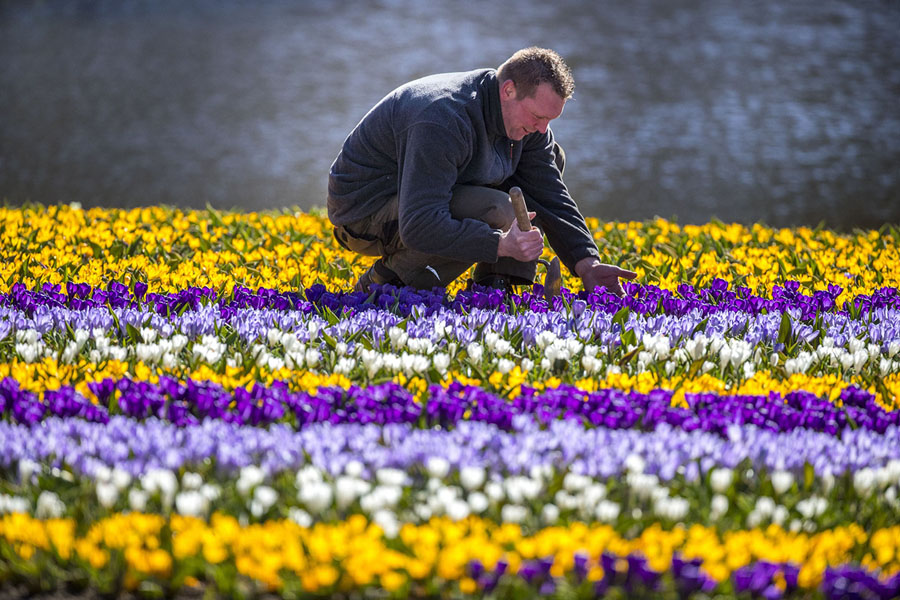 April blooms spring is on the way the atlantic a gardener makes finishing touches in a field of tulips in the keukenhof in lisse netherlands on march 20 2018 mightylinksfo