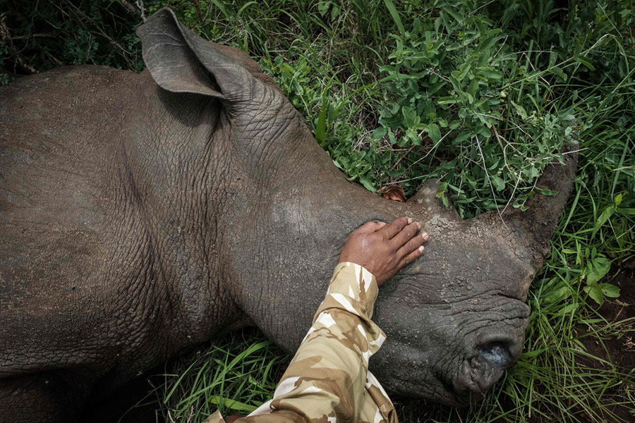 ... A Four Year Old Female Southern White Rhino, To Dim The Light. Abby Was  Tranquilized During A Rhino Ear Notching Exercise For Identification At Meru  ...