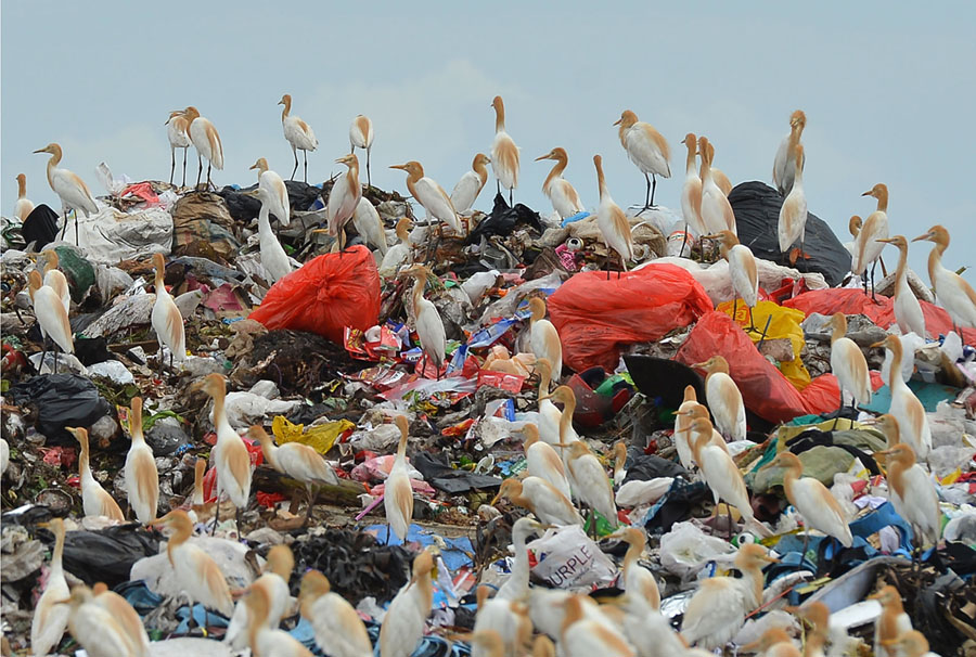 in this photograph taken on may 6 2018 egrets gather atop a garbage dump at kathirana on the outskirts of sri lankas capital colombo