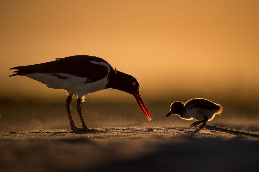 American Oystercatchers on Nickerson Beach Park, Lido Beach, in New York Raymond Hennessy / Audubon Photography Awards