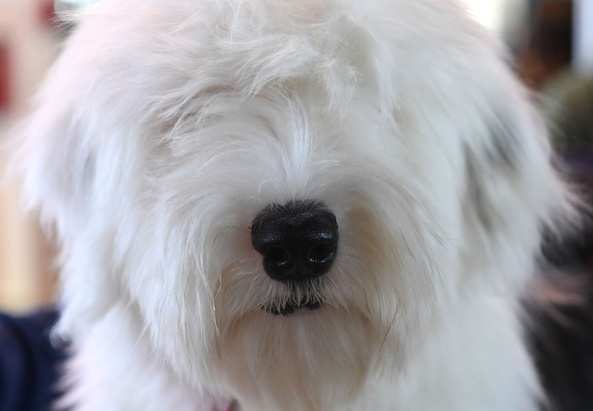 The 2019 Westminster Dog Show: Photos - The Atlantic