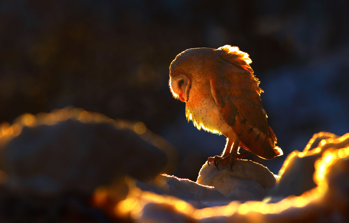 No. 9: A barn owl in Galyat, Pakistan #  Zahoor Salmi / Getty