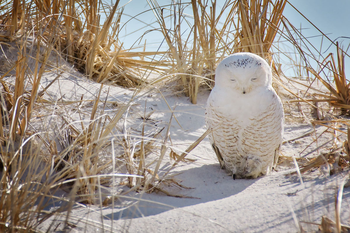 A snowy owl rests on Jones Beach on Long Island in New York. #  Vicki Jauron, Babylon and Beyond Photography / Getty