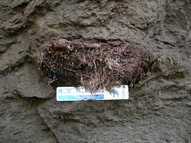 An ancient Arctic ground squirrel nest found in permafrost in the Yukon