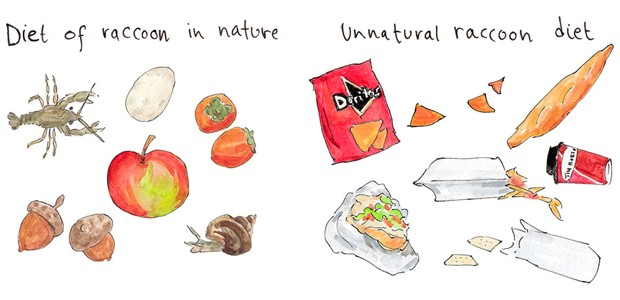 An illustration depicting the diet raccoons in nature have vs. the diets they have in human-dominated environment