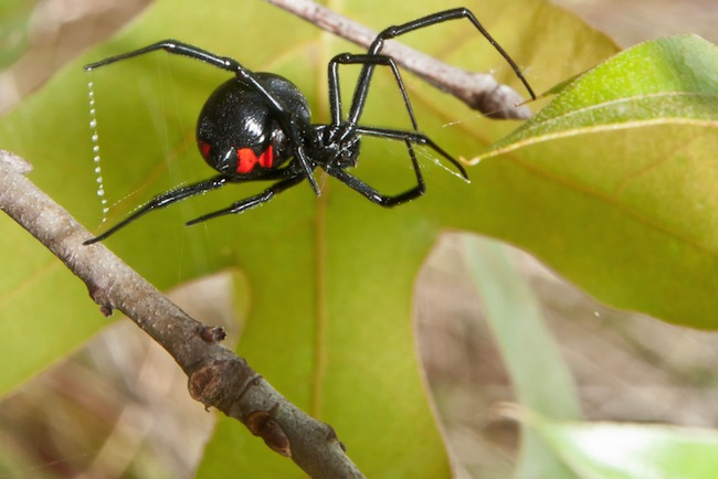What It Feels Like To Get Bitten By A Black Widow Spider The Atlantic