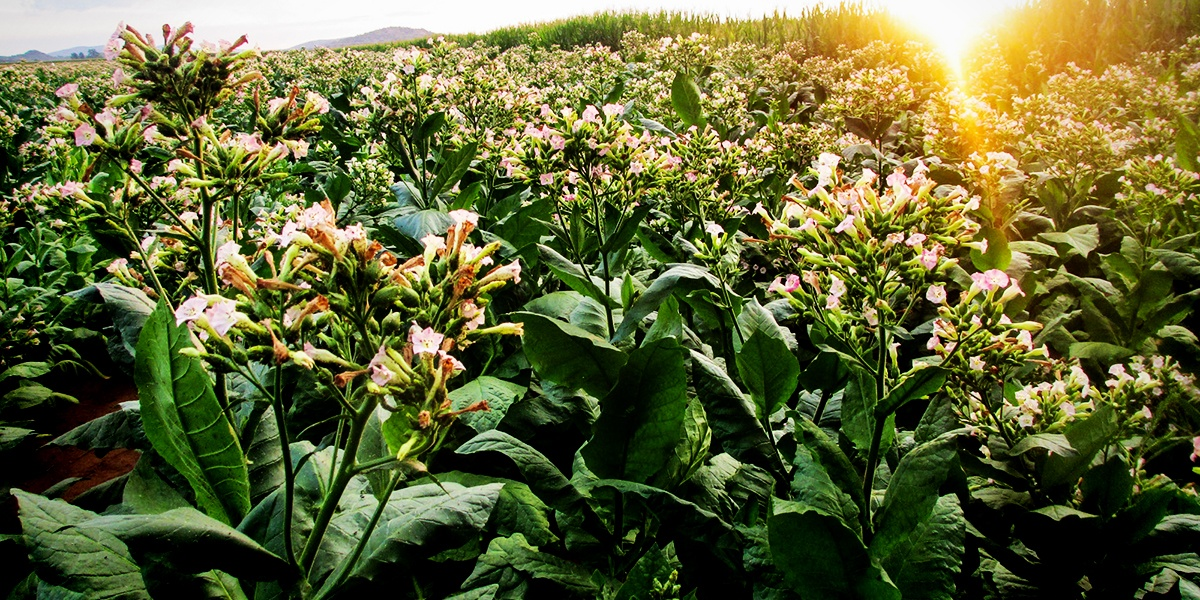 Boeing, South African Airways and Dutch aviation biofuels company SkyNRG have teamed up to create jet fuel from Solaris, a nicotine-free tobacco plant.