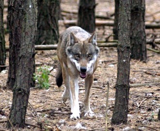 Wolf Germany after centuries of absence big bad wolves returned to germany