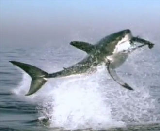The Physics of Great White Sharks Leaping Out of the Water to Catch