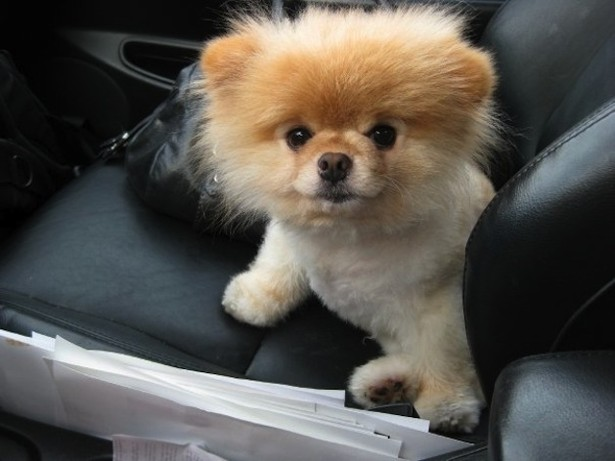Must see Pomeranian Canine Adorable Dog - lead_large  Pictures_358568  .jpeg