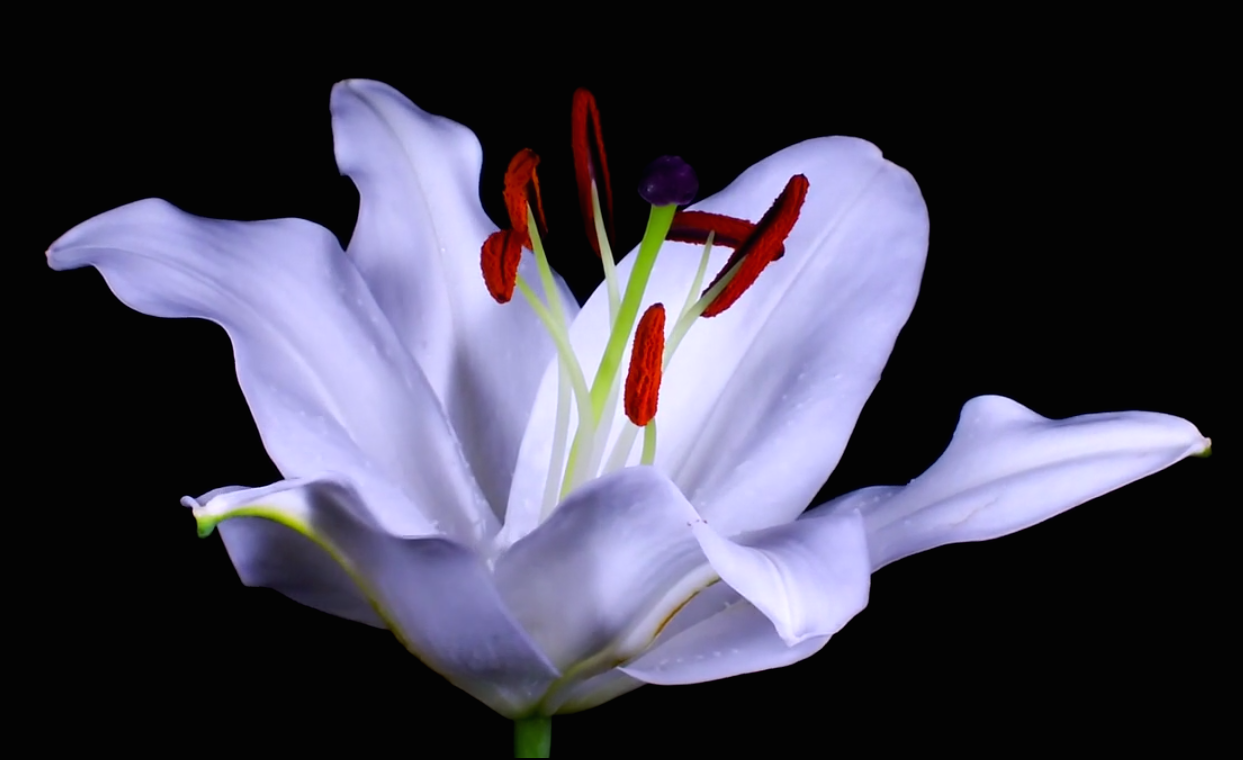 The Serene Beauty Of A Blooming Flower In Gorgeous Time Lapse