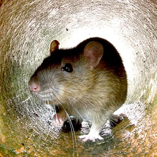 Rat free college girls tubes