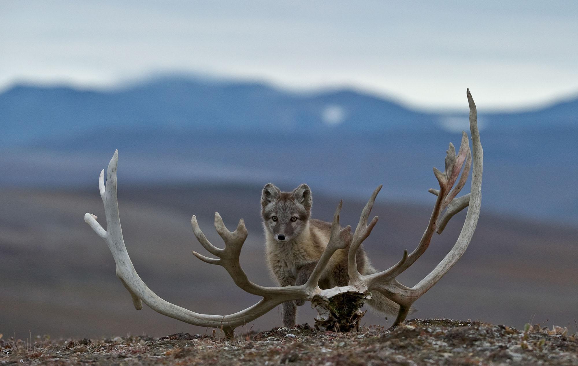 hunting Wrangel Island