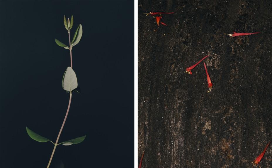 diptych of budding honeysuckle next to fallen petals