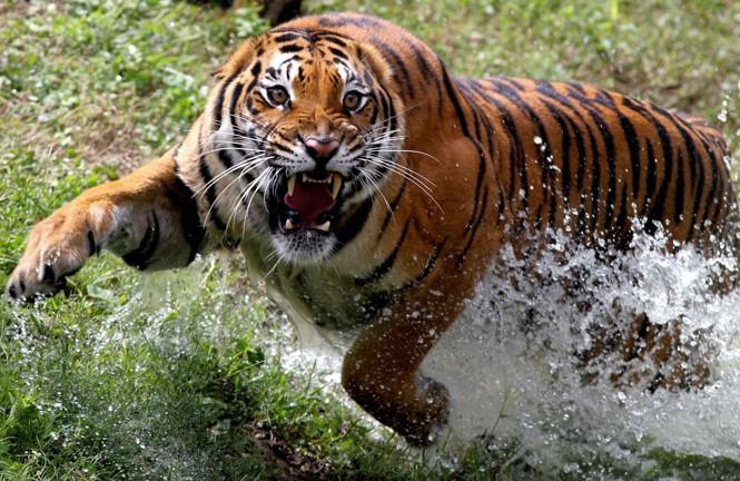 An enormous tiger splashes through water