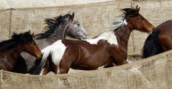 horsesrunban.jpg